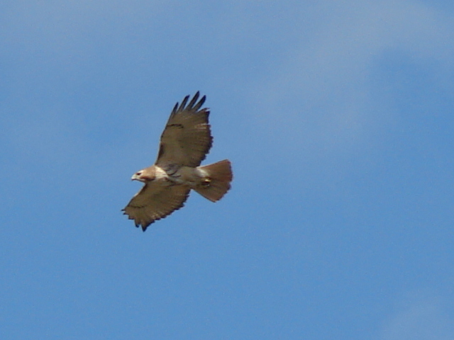 Great Red Tailed Hawk overhead